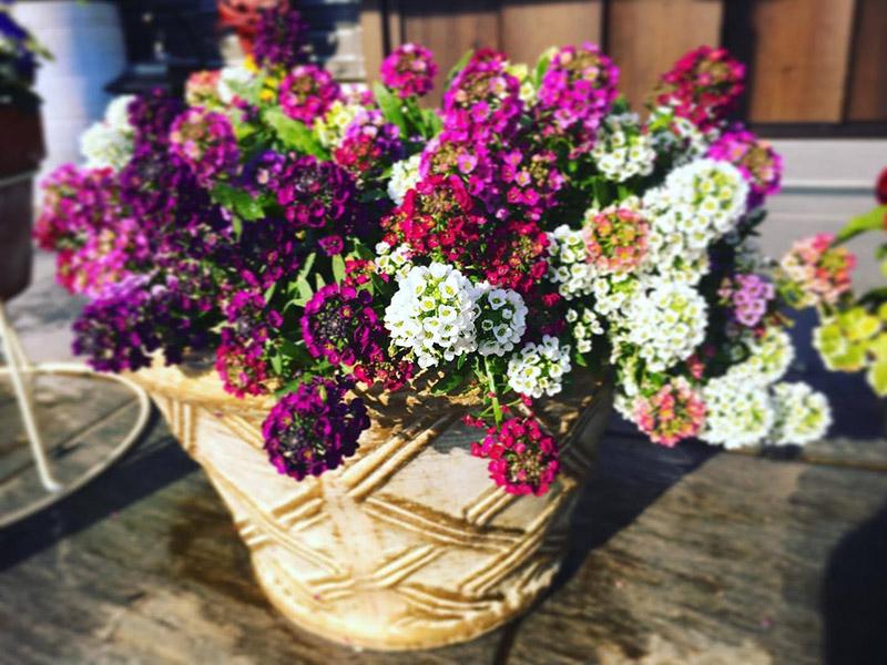 綺麗に咲いているスイートアリッサム