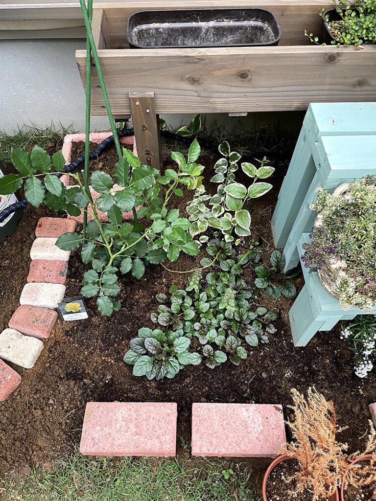 ツルゴールドバニーを植えた