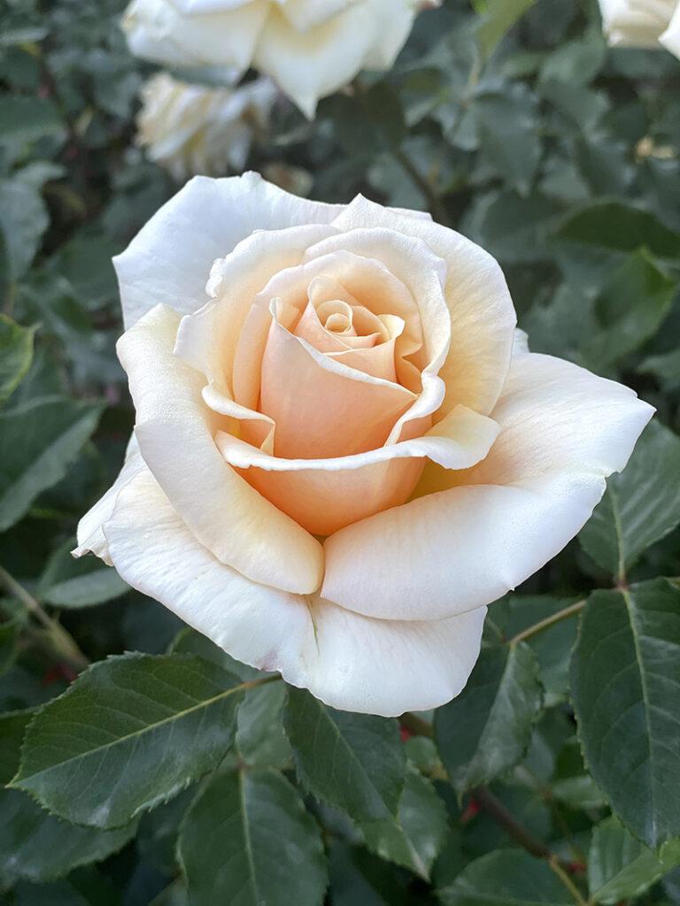 生田緑地バラ苑の薔薇