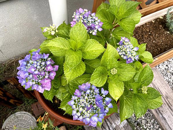 紫陽花が徐々に咲く様子