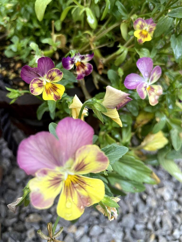 紫と黄色のビオラ