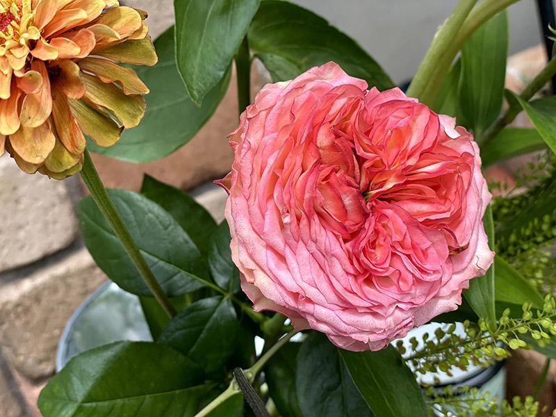 スタートレックという品種の薔薇