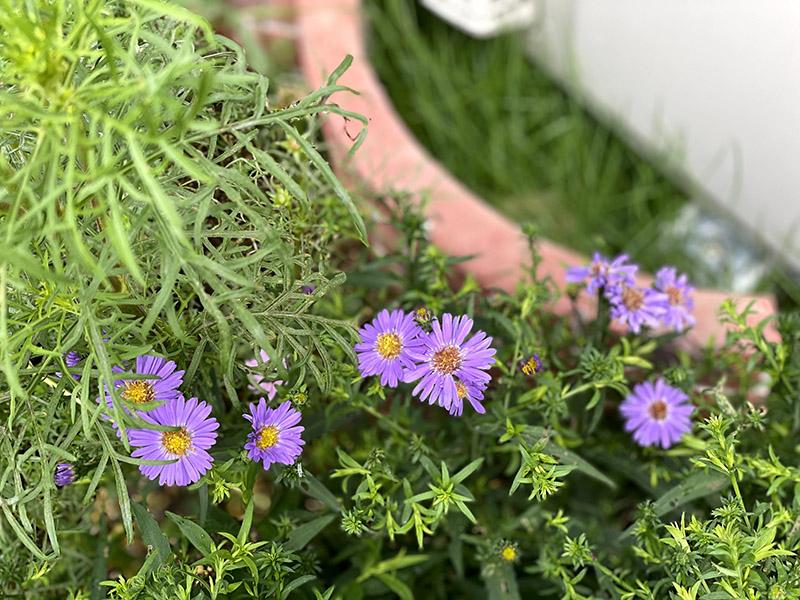 ガーデンアスターの花