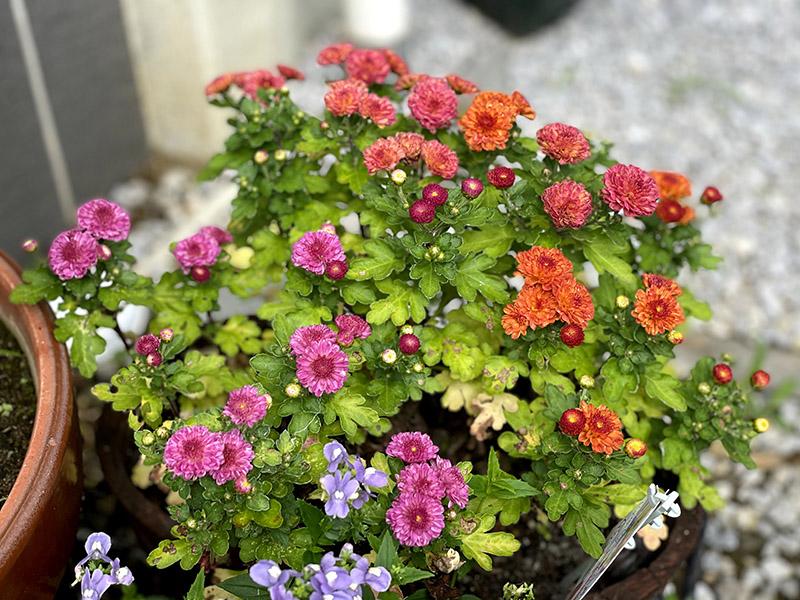 ジジガーデンマムの花がキレイに咲いている様子