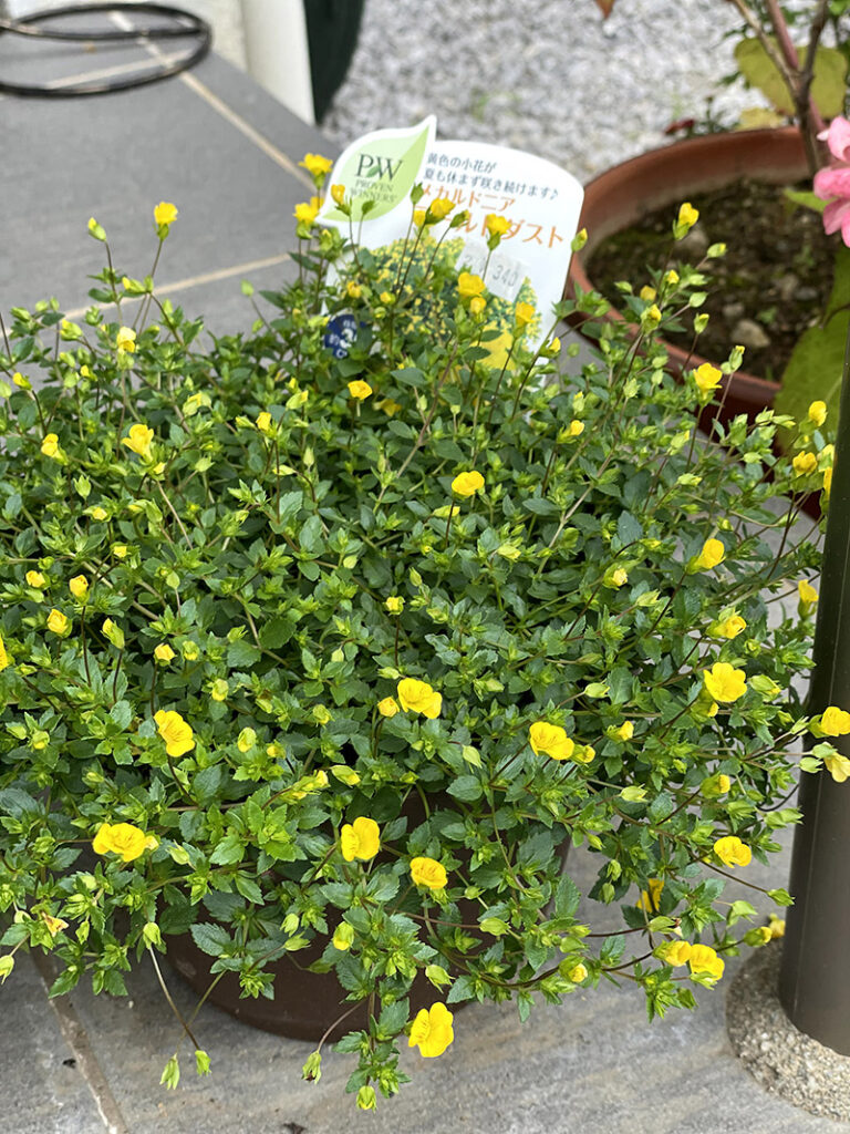 メカルドニア ゴールドダストの花