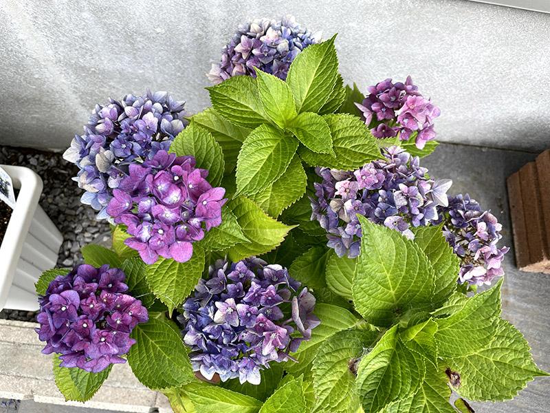 紫色の鉢植えの紫陽花