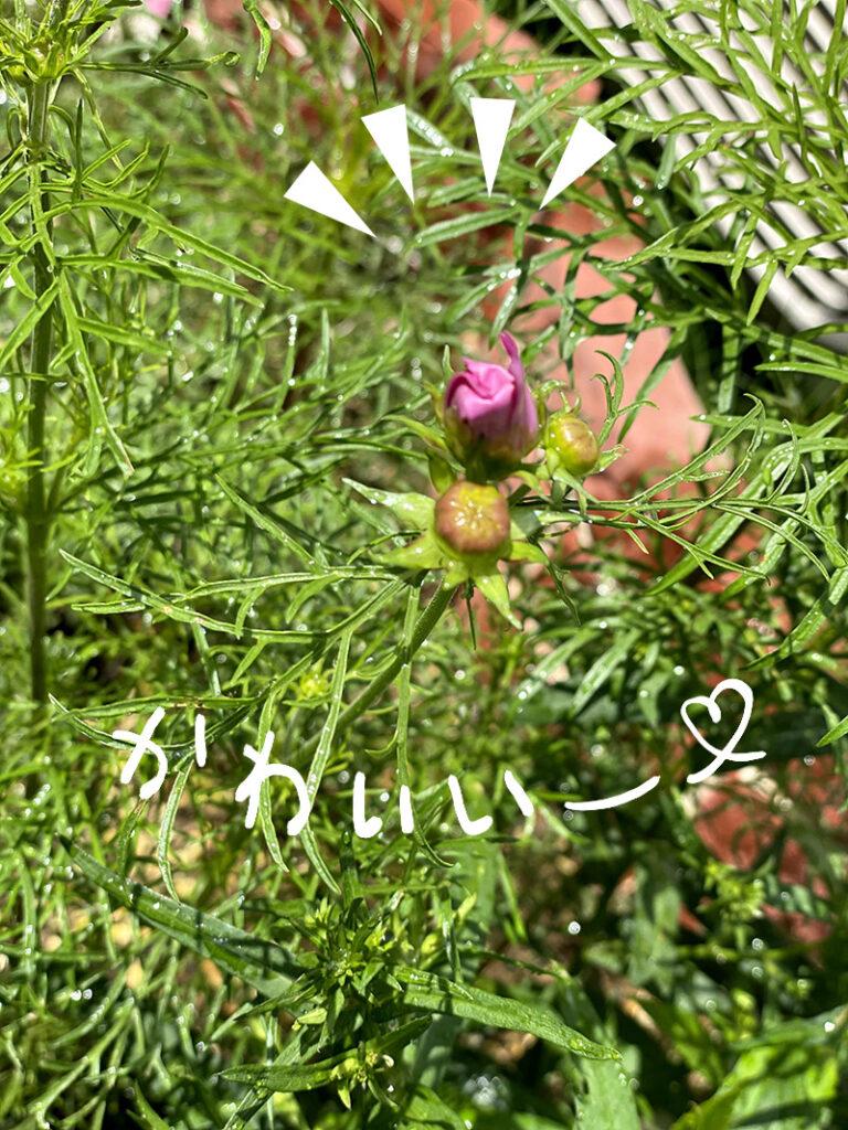 6月に咲くコスモスの蕾