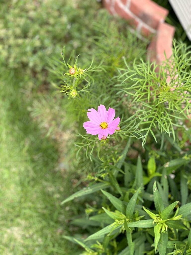 6月に咲くコスモス