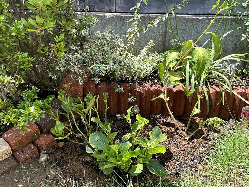 地植えに植え替えた紫陽花