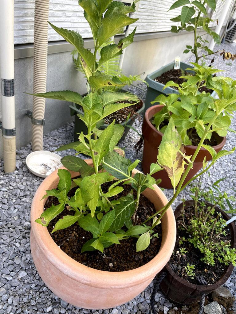剪定後の鉢植えの紫陽花