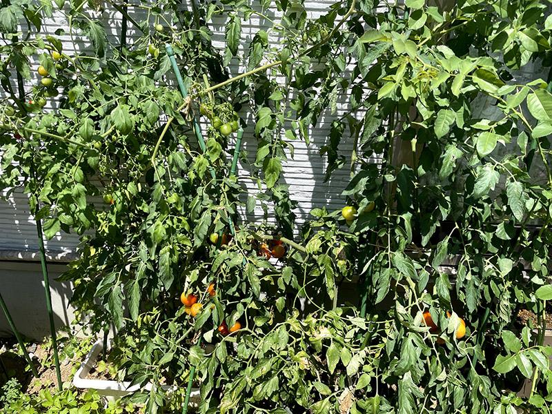 大きく育った家庭菜園のミニトマト