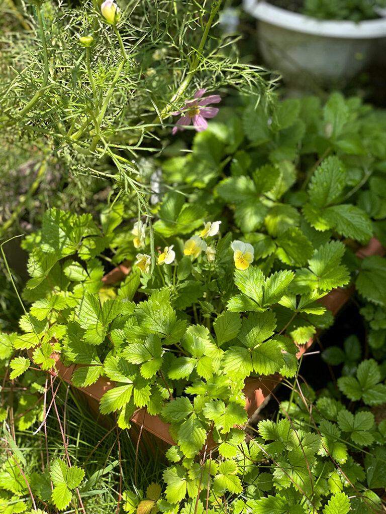 庭に飛んできた種から芽が出たビオラ