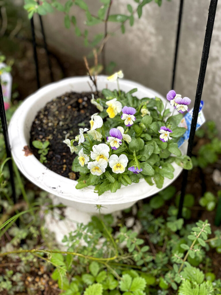 自然にこぼれた種から咲いたビオラ