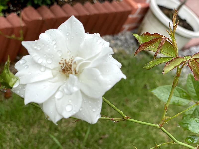 バラ(アイスバーグ)の花