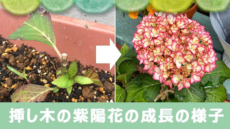 挿し木の紫陽花の成長の様子